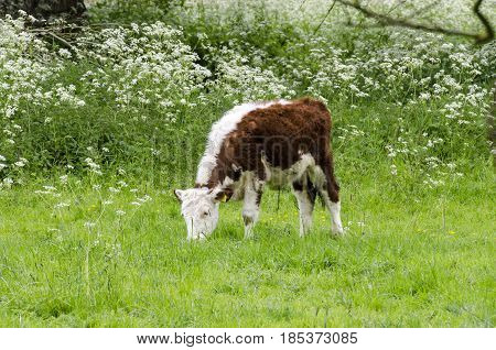 A young calf eating grass in a field. The whole herd is left to graze in a large park.