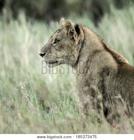 Female lion attentive in the grass in Serengeti National Park