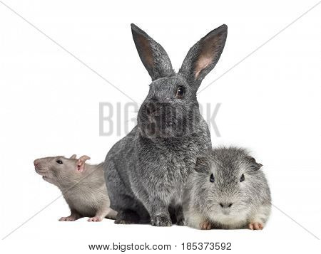 Argente rabbit and Domestic rat and Swiss Teddy Guinea Pig isolated on white