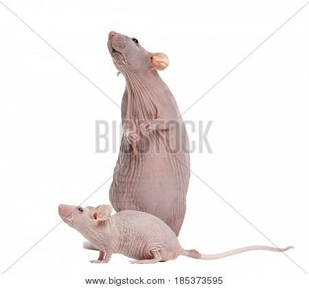 Hairless rat and Hairless House mouse, isolated on white