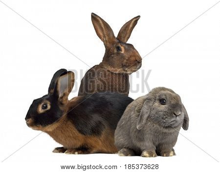 Black fire Rabbit,Belgian Hare and Holland Lop rabbit isolated on white