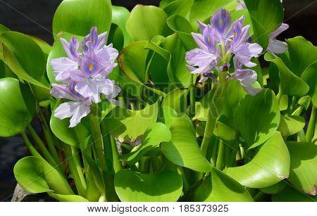 Closeup Of Flowering Water Hyacinth