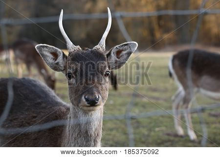 European roe deer (Capreolus capreolus) with wide angle.