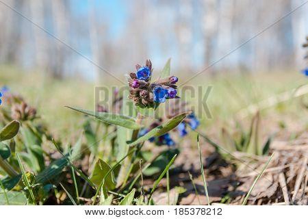 The Medunitsa Is Blue. Glade Of Flowers. Spring Flowers.