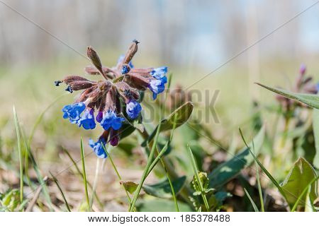 The Medunitsa Is Blue. Glade Of Flowers. Spring Flowers.