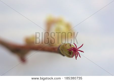 High Magnification Of Hazel (corylus) Bud With Female Blossom
