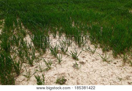 Crop fields suffering from wind and soil erosion in Norfolk, UK
