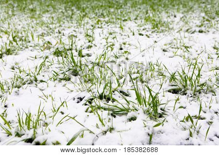 Moscow Russia May 8 2017: A natural phenomenon. Unexpected spring snowfall and green young grass.