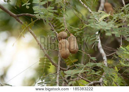 The single fruit tamarind on tree in garden.