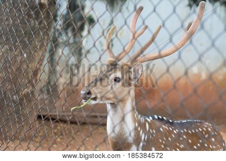 The chital or cheetal also known as spotted deer or axis deer