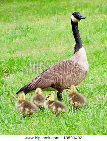 Mother goose and her goslings.