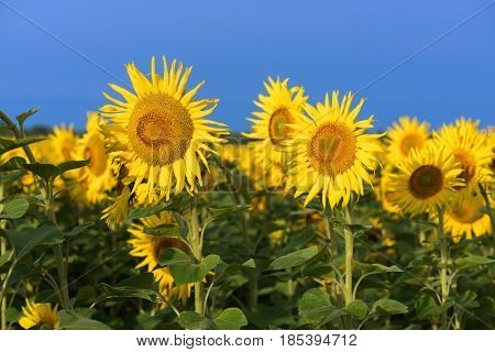 Sunflowers in the field. Sunny day with a clear blue sky
