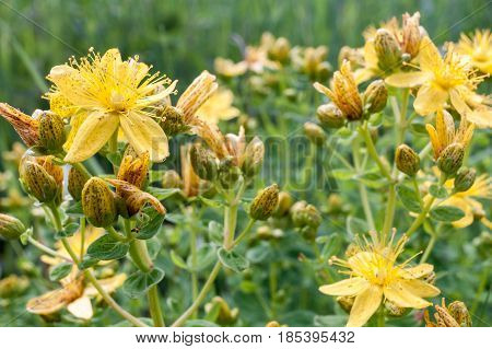 Close-up St. John's wort. Yellow speckled flowers and buds on green background.