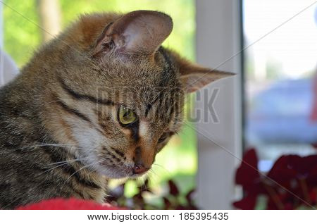 Bengali cat with green eyes looks closely