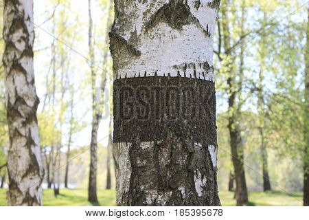 Trunk of birch tree with black-and-white birch bark close-up in birch grove for congratulatory or advertising text