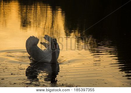 Agressive swan on lake during sunset. Orange reflection of sun in the water.