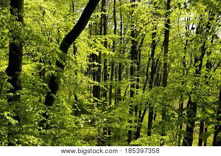 Green forest during sunny day. Sunlight invades among trees