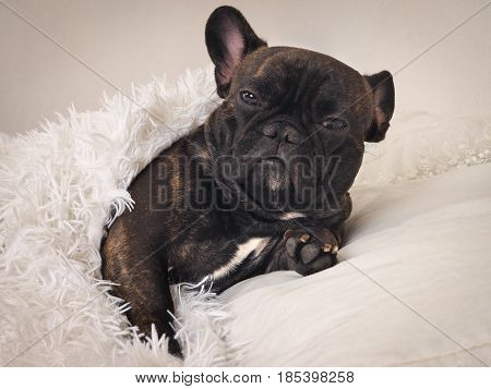 Funny sleepy dog in bed under a fluffy white blanket