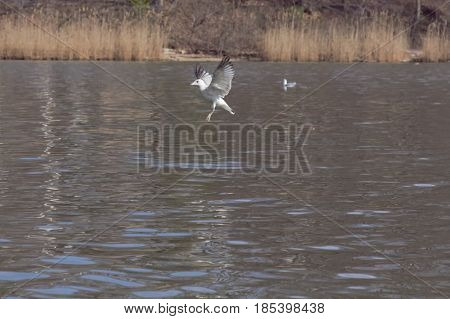 A bird ready to make a landing on the water.