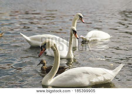 Beautiful Swans In The Water. Couple Of Beautiful White Swans In Lake .