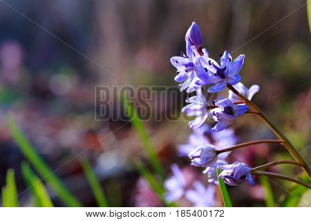 Blue Scilla on multi-colored background. Flowers Blue Scilla in early spring in rays of setting sun. Natural photophone for phone and computer screens