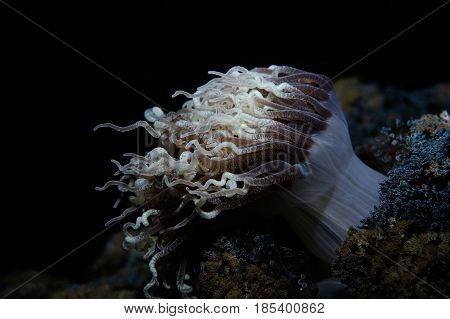 A night shot of tube anemone, Panglao, Philippines