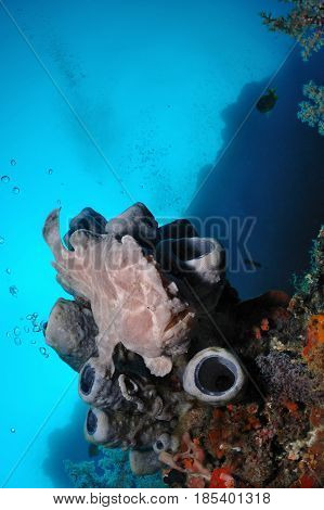 Grey giant frogfish is sitting on a tube sponge, Balicasag island, Philippines