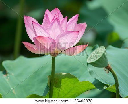waterlily or lotus flower in water,Symbol of purity.
