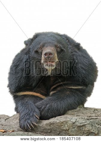 asiatic black bear on the rock white background white copy space