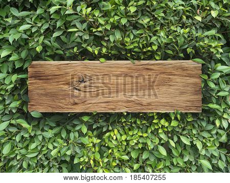 old plank wood on Korean Banyan tree leaves background with copy space