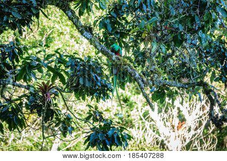 Front view of beautiful bird in tropic habitat over tree branch. Quetzal with bug in beak, Pharomachrus mocinno in Costa Rica