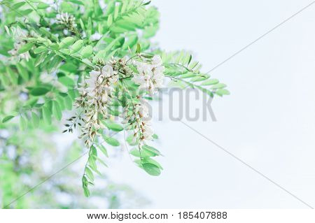 Close-up of the acacia tree blooming in springtime