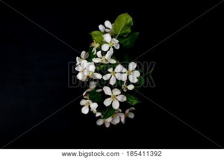 White apple blossom flowers isolated on a black background shallow depth of field low key selective focus
