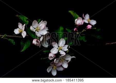 Apple blossom flowers isolated on a black background shallow depth of field low key selective focus