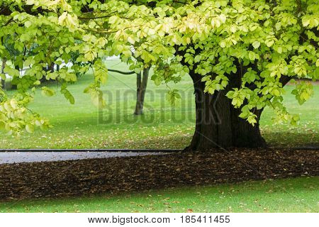 Partial view of Linden tree. Also called Tilia, Lime tree with its deciduous fallen leaves in the garden, Tasmania, Australia