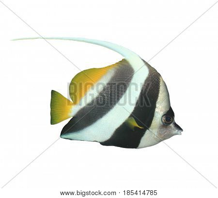Longfin Bannerfish fish isolated on white background
