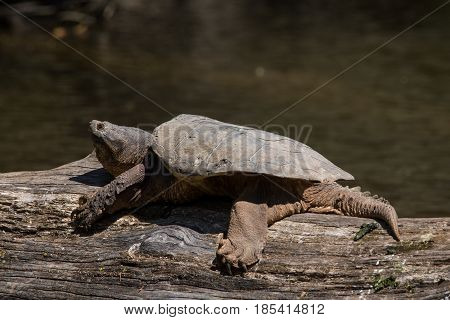 A Common Snapping Turtle basking on a log in the Milwaukee River.