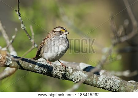 A White-throated Sparrow perched on a branch during spring migration in Wisconsin.