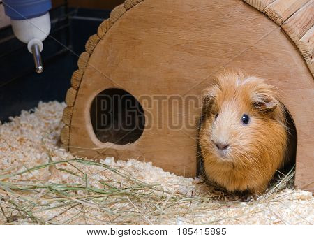 Portrait of cute red guinea pig in wooden house.