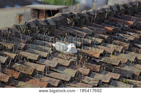 single Gull seabird nesting on a roof