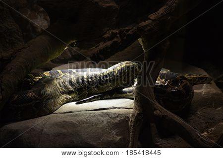 A Burmese python laying under a heat lamp