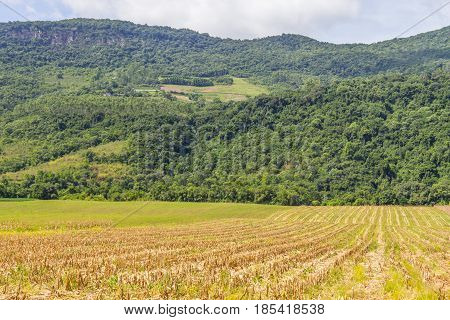 Forest And Corn Plantation