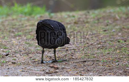 Eurasian Coot (fulica Atra) In An Aggressive Posture
