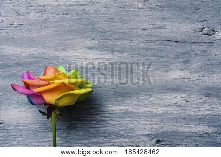closeup of a rose with its petals with the colors of the rainbow flag against a gray rustic wooden background with a blank space on the right
