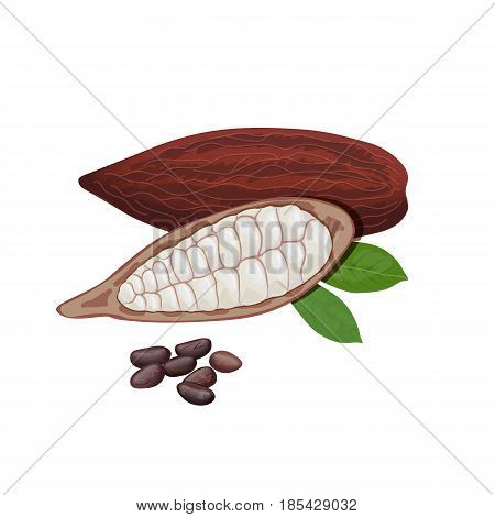 Ripe Cocoa fruit on a white background. Cacao pod and beans. Whole and half. Chocolate color. Close up. Vector illustration. For cooking, cosmetics, medicine, health care, ointments, perfumery