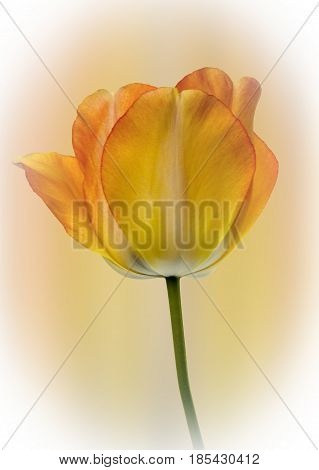 Close up view of a single tulip on a diffused coloured background