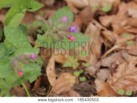 Pulmonaria Officinalis (common Lungwort) With Some Blossoms