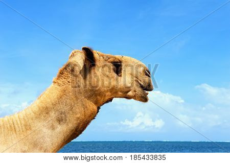 Camel standing at ocean beach coast with blue sky
