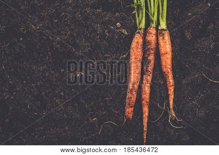 raw carrot in the soil. carrot on the soil background. farmed raw organic carrot. fresh carrot