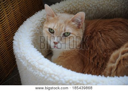 Kitten relaxing in his warm fuzzy bed at home.